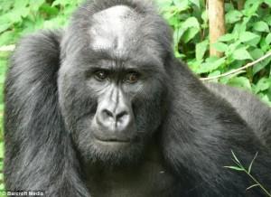 gorilla01
